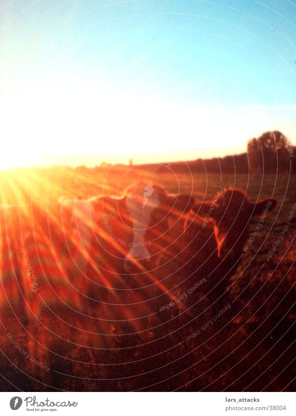 Sun Animal Transport Cow Pasture Sunglasses