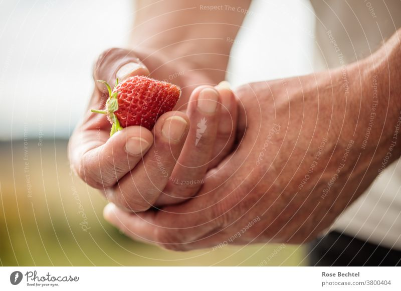 Man holds a strawberry in his hand Fruit Strawberry Red Food Delicious Fresh cute Colour photo Summer Healthy Juicy Mature Berries Close-up Tasty Vitamin Diet