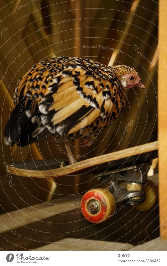 Skatergirl - chicken on the longboard hen chicken birds Longboard Sports Athletic Bird Leisure and hobbies Skateboard Skateboarding skateboarder skater girl
