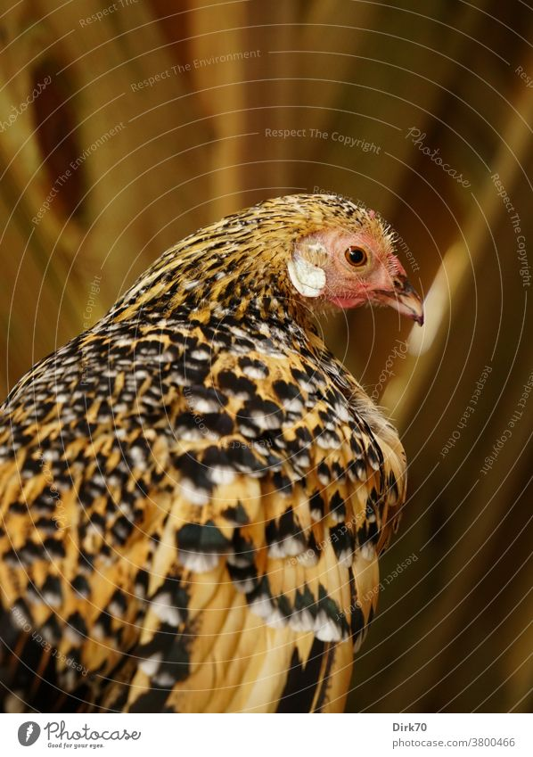 Portrait of a pet chicken Bird hen portrait Animal portrait Profile Rear view shallow depth of field selective focus selective sharpness plumage Pattern