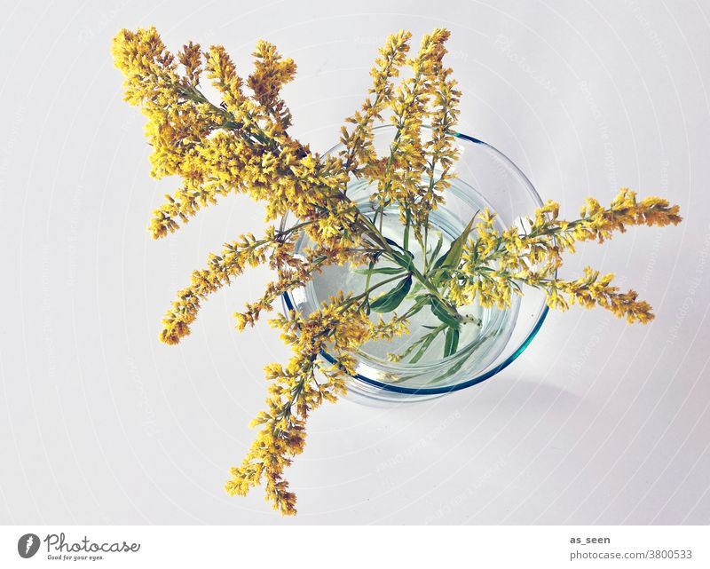 Goldenrod in glass vase Solidago canadensis Glass Autumn Decoration Plant Flower Colour photo Blossom Neutral Background Bird's-eye view Style Yellow September