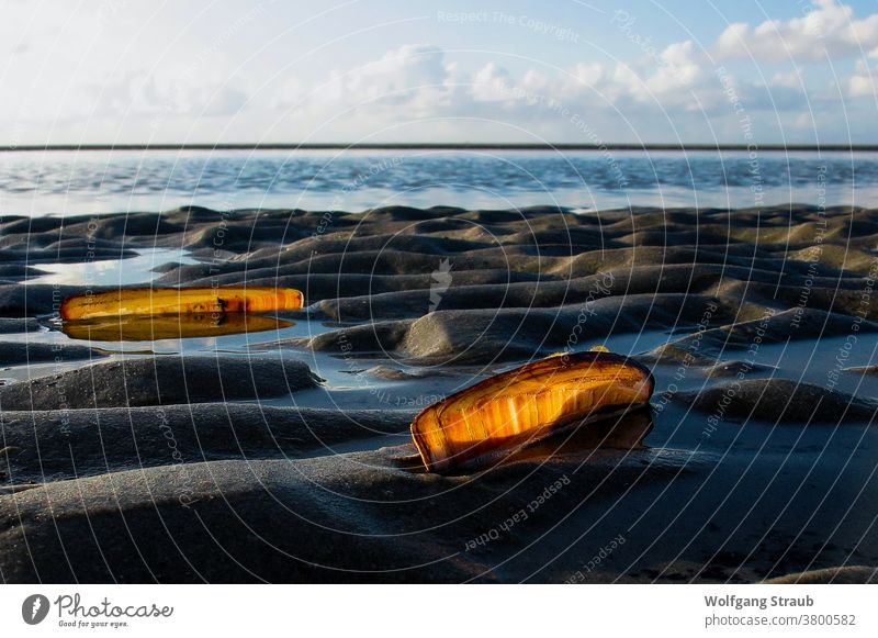 Mussels in the Wadden Sea against the light seashells Back-light Mud flats North Sea Sandbank St. Peter-Ording Ripple Orange Pile shells vacation Exterior shot