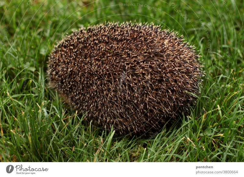 A hedgehog sits curled up in a meadow, so that only the spines are visible naturally Brown Mammal Grass Green Autumn Cute Meadow Thorny Nature Animal prickles