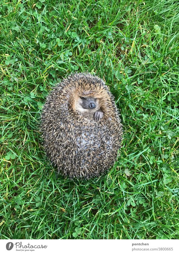 A hedgehog lies sleeping on his back in the grass Hedgehog Wild animal Lie prickles Sleep Animal Nature Thorny Meadow Cute Autumn Green Grass Mammal Brown