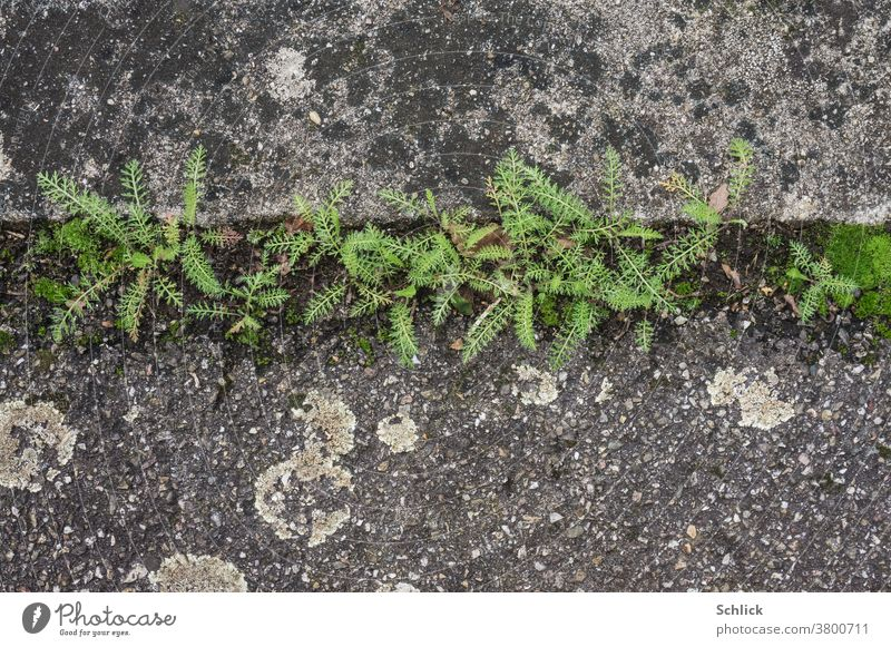 Delicate green appears after a long dry spell between concrete and asphalt Close-up bird's eye view plants Fine Concrete Asphalt Bird's-eye view Lichen Bog