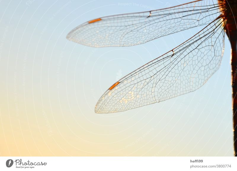Dragonfly wings in sunlight Grand piano Sunlight transparency Animal Insect Wild animal Nature 1 Macro (Extreme close-up) Animal portrait