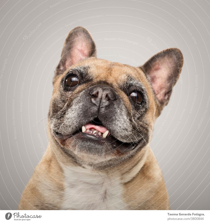 Studio portrait of an expressive French Bulldog dog against neutral background snout tongue pug purebred domestic mammal wrinkled pedigreed friend studio cute