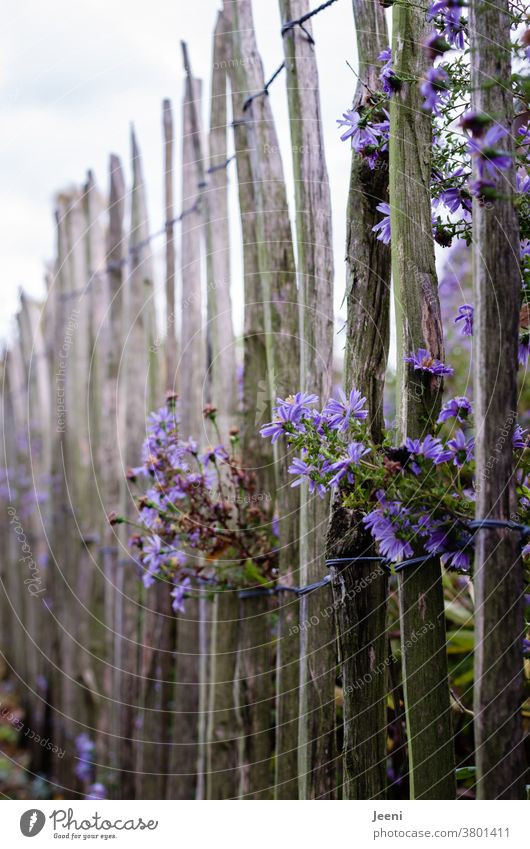 Picket fence with purple Herbstaster paling fence Aster Violet Autumn autumn aster Flower Blossom Garden Garden fence blossom Blossom leave Bushy Fence