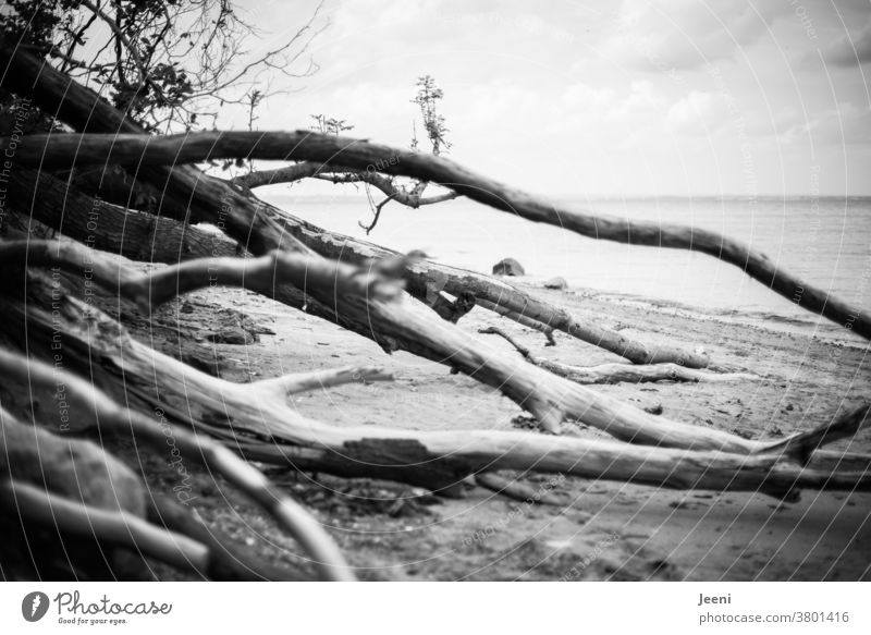 At the sea there are trees on the beach and block the way Ocean Baltic Sea Baltic coast Water Driftwood Tree steep coast Beach Far-off places Breads