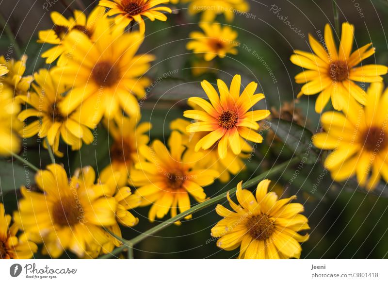 Summer flower / autumn flower shines in the colours yellow and orange in the garden Yellow Flower Plant Autumn Nature Rudbeckia Blossom blossoms Bee Orange