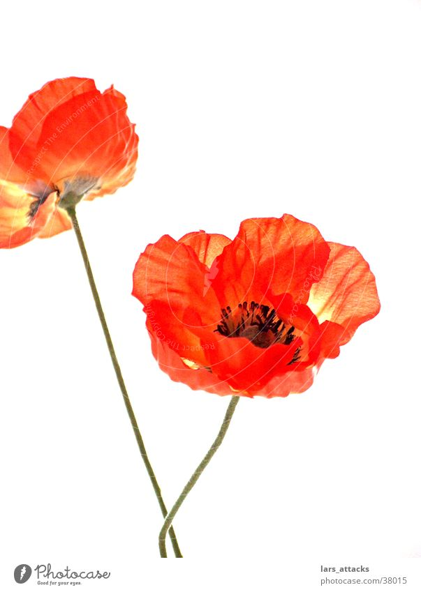 artificial poppy Flower Poppy Orange Still Life Macro (Extreme close-up) Artificial flowers Nature Isolated Image Profound Feeble Decoration plant