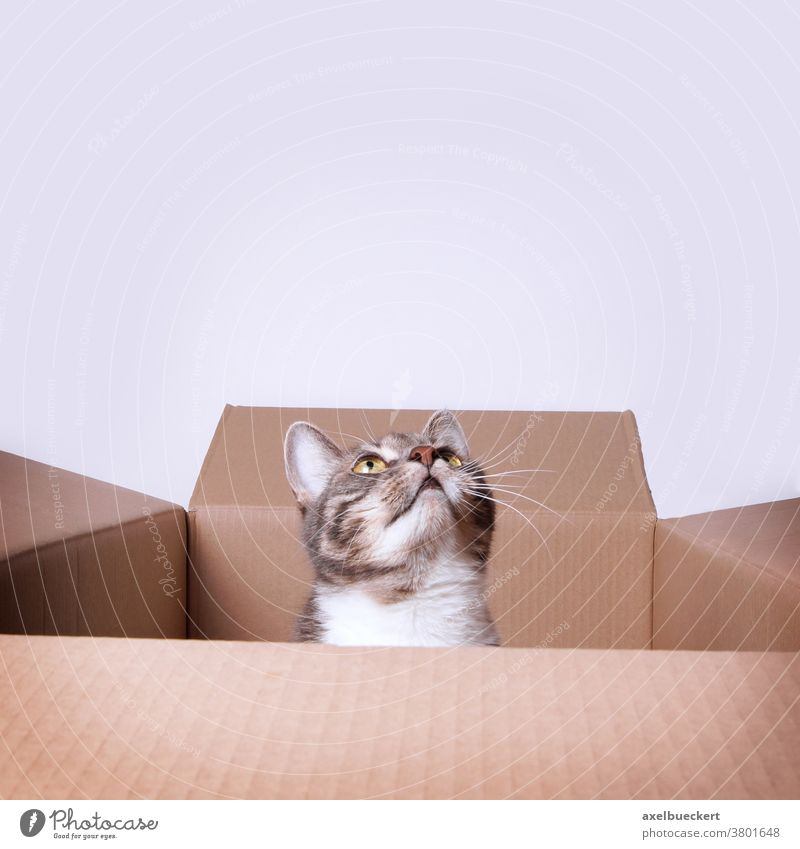 cat in cardboard box looking up to copy space pet animal carton curious cute feline domestic kitten sitting kitty curiosity young tabby funny adorable gray grey