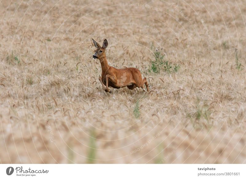 roe deer doe running in wheat field female mammal capreolus fauna beautiful european wildlife brown animal hunting outdoors wilderness agriculture natural