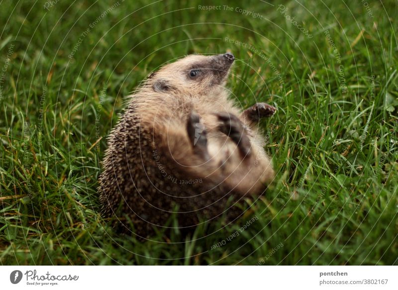 A hedgehog lies on his back in the grass Hedgehog Wild animal Kick about Lie Meadow Grass cute Back Needy prickles Animal Cute Mammal Brown Small Autumn