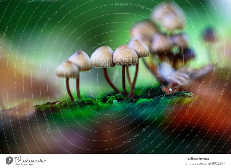 mushrooms go mushrooming Forest Woodground Forest atmosphere Detail Close-up Exterior shot Colour Colour photo Cute naturally Growth Thin Galerina Wild plant