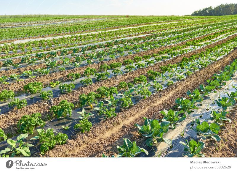 Organic vegetable farm field with patches covered with plastic mulch at sunset. organic eco plasticulture food agriculture Poland rural film foil green plant