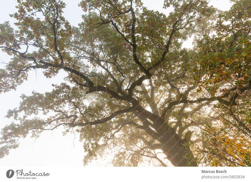 Alte Eiche, old oak Baum Gegenlicht Herbst Morgennebel Nebel Sonne alt bizarr bunt farbig gelb grell knorrig morgenlicht morgensonne morgenstimmung nebelig