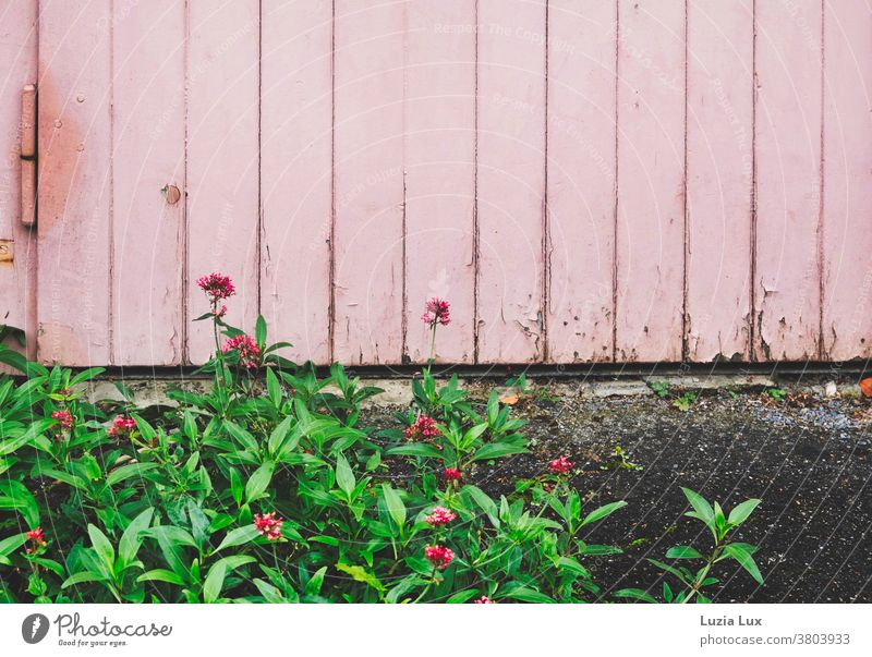 Pink tone on tone: a ground cover with bright small flowers spreads out in front of a garage door Sedum high fattening hen Garage door Goal Old flaking Colour
