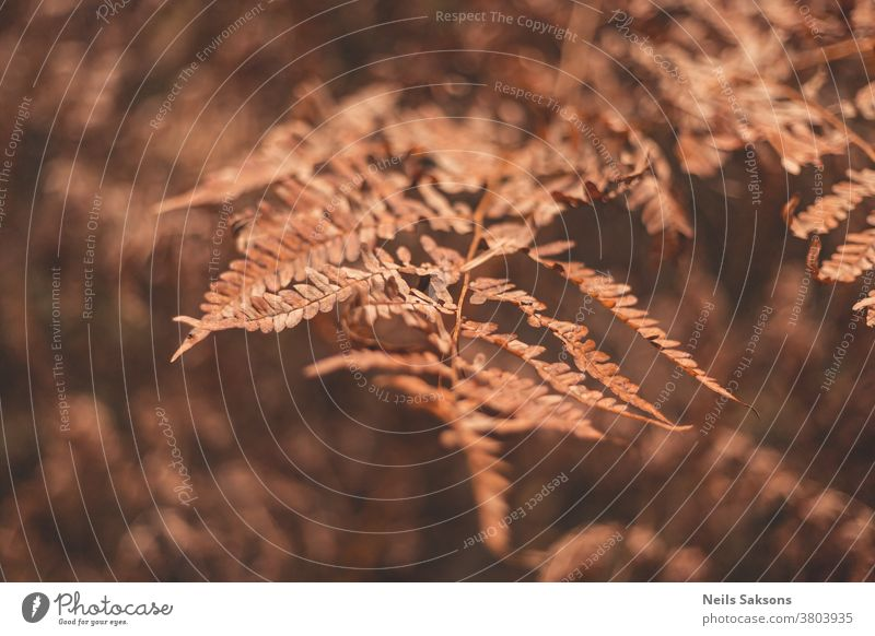 brown wizened autumn eagle fern leaves in the forest nature plant grass leaf field yellow macro sunset branch natural isolated fall season meadow background