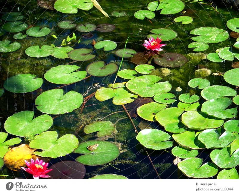 water lily pond Rose Water lily Leaf Pond Light Green Goldfish Pink Blossom Flower Wet Surface Moody Glittering Exposure Frog