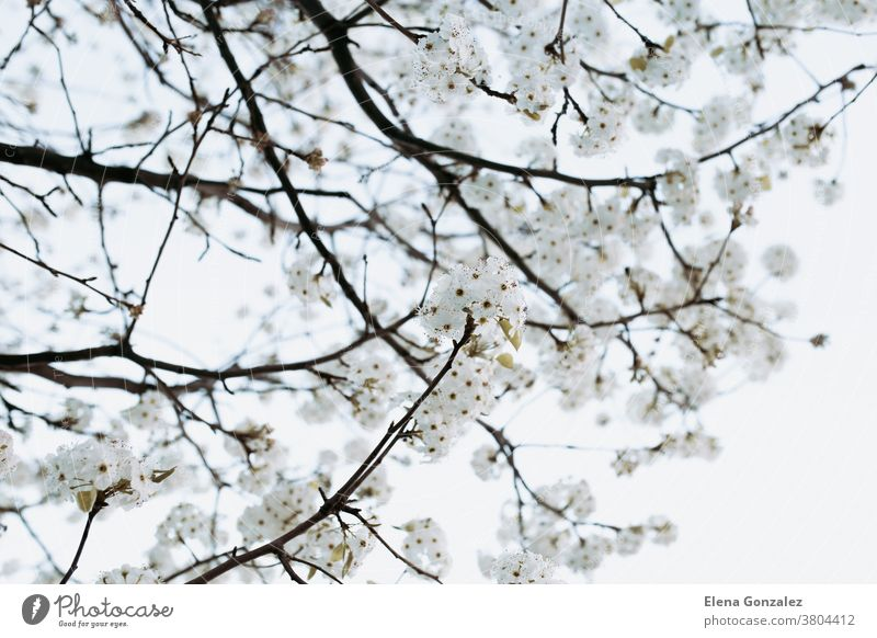 branch with white flowers tree in spring White flowers Branch Almond Tree Spring Soft light background young detail orchard springtime cherry beauty sky nature