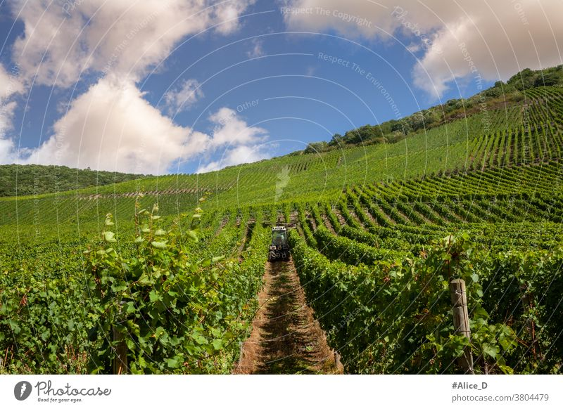 Vineyard on the Moselle Summer Wine growing Nature Landscape Rhineland-Palatinate tranquillity Hiking Mosel (wine-growing area) Idyll Moselle valley River bank