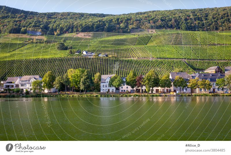 Moselle landscape in Piesport Vacation & Travel Summer Wine growing Nature Vineyard Landscape Rhineland-Palatinate tranquillity Hiking River Tourism