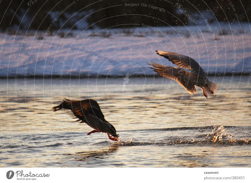 Winter Wild Running Appetite Hunting Seagull Duck Competition Feeding Envy Avaricious Prey Flee Animosity Voracious Chase