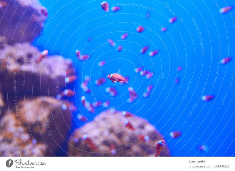 Tropical aquarium fish on its host animal with blurred corals in the background. Aquarium picture small tail glass fin swim scenes amazing seabed angel fishes