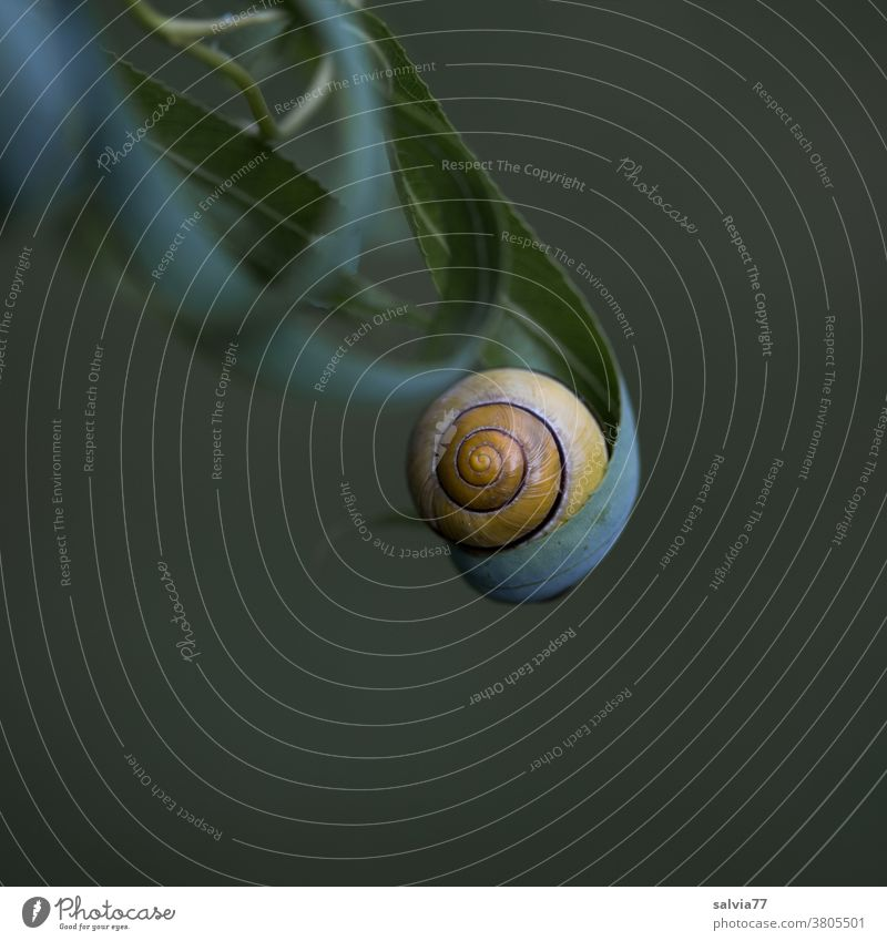 security Snail shell Nature Leaf Protection Safety (feeling of) Round Spiral Carried Rolled leaves Willow tree Close-up Forms and structures Neutral Background