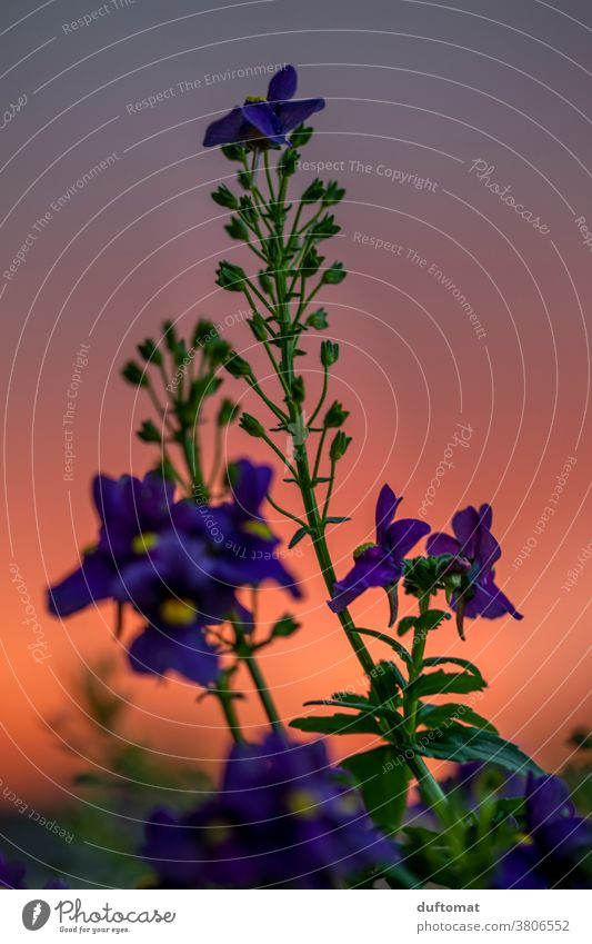 Macro shot of a purple flower before red sunset Flower Sunset Orange Evening Nature Blossom Plant Violet Blossoming Shallow depth of field Exterior shot
