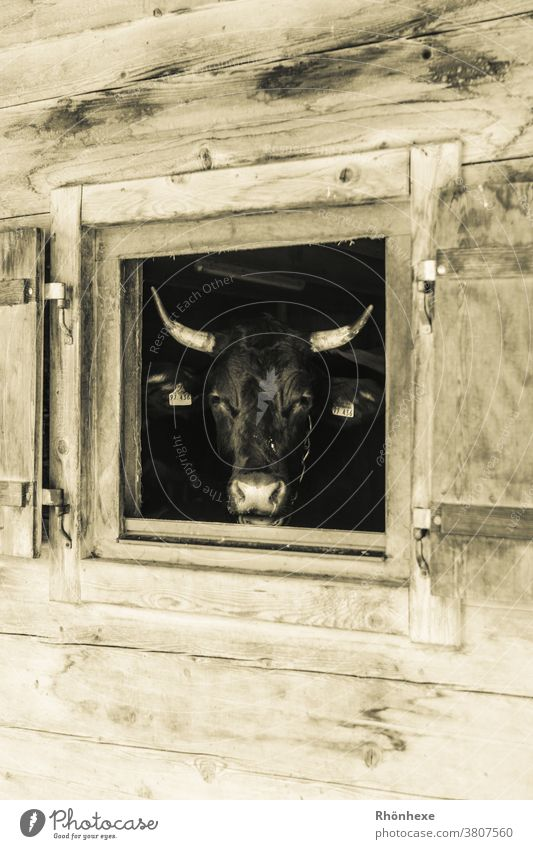 A cow looks out of her barn Cow Animal Colour photo Farm animal Deserted Animal portrait Day Looking Agriculture Cattle breeding Dairy cow Organic farming