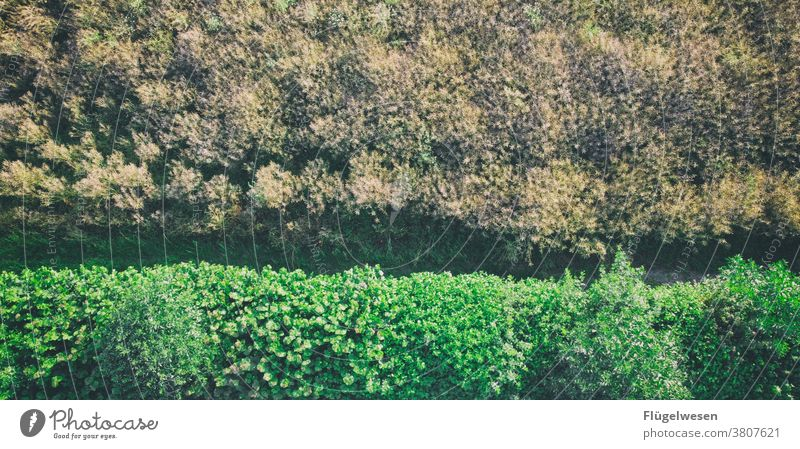 protect sb./sth. Hedge Hedge shears hedge plant Garden Gardening Horticulture Garden plants Garden fence garden flower Bushy shrubby bush Green Foliage plant