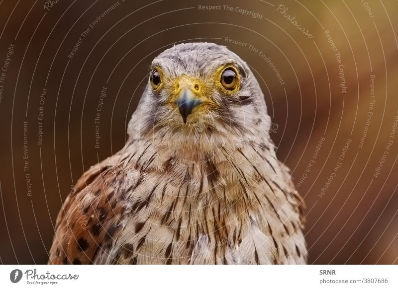 Common Kestrel (Falco Tinnunculus) animal bird falcon diurnal bird eyas kestrel common kestrel Falco tinnunculus bird of prey Falconidae European kestrel
