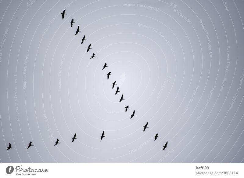 Crane formation in the sky Cranes in the sky Wild animal Formation flying Bird Flying Migratory bird Autumn Flock Flock of birds Group of animals Fog