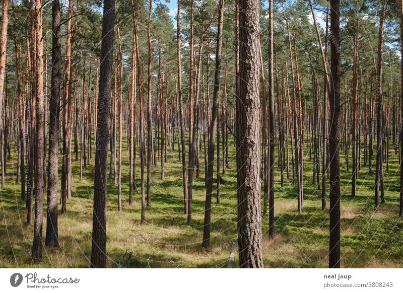 Pine forest, light and bright Nature Forest pines Environment Monoculture Regular Forestry Green Coniferous forest Labyrinth Tree Plant Summer Deserted Jawbone