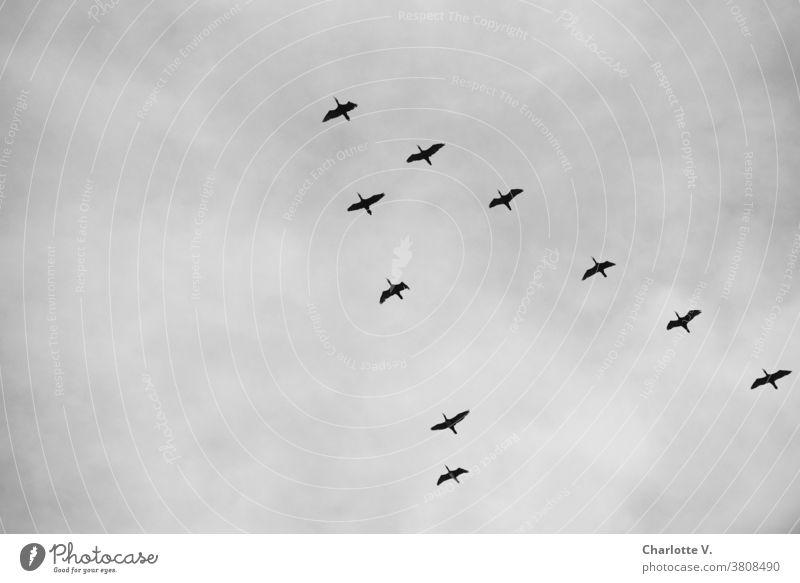 Kormoran Squadron Cormorants waterfowls Animal Wild animal Wildlife Exterior shot Nature Bird birds Birds fly Flying Sky Day Freedom Upward Black & white photo