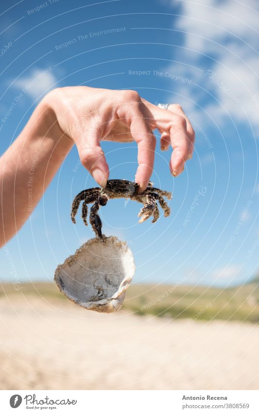 Hand with crab with clam in the beach, summertime image. hand sand vacations crustacean shellfish hold suspended grasping mollusk marine life macro close-up