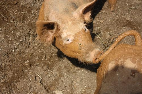 light brown pig looks at you from below Swine Rabbit's foot Pig's Eye Trunk Snout ears Pig's Ears Nose Sow Piglet Animal portrait Happy Dirty Pig's snout Farm