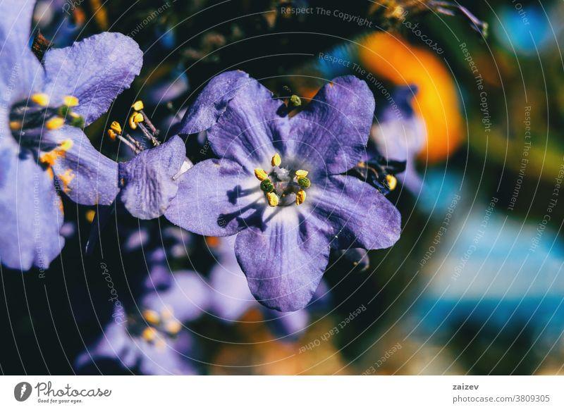 Detail of a purple flower of polemonium caeruleum jacob's-ladder greek valerian cup-shaped lavender-coloured lilac boreal medicinal uses stamens five-petals