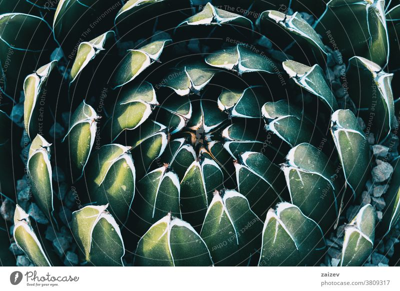 Close-up of the circular pattern formed by the leaves of an agave victoriae plant royal agave queen victoria agave asparagaceae agavoideae succulent geometrical
