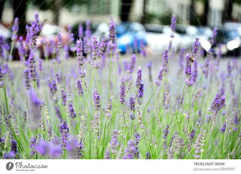 Visual anti-depressant. Flowering lavender bush at a main road with parked cars and a passer-by and row of houses and tree trunks in the background Lavender