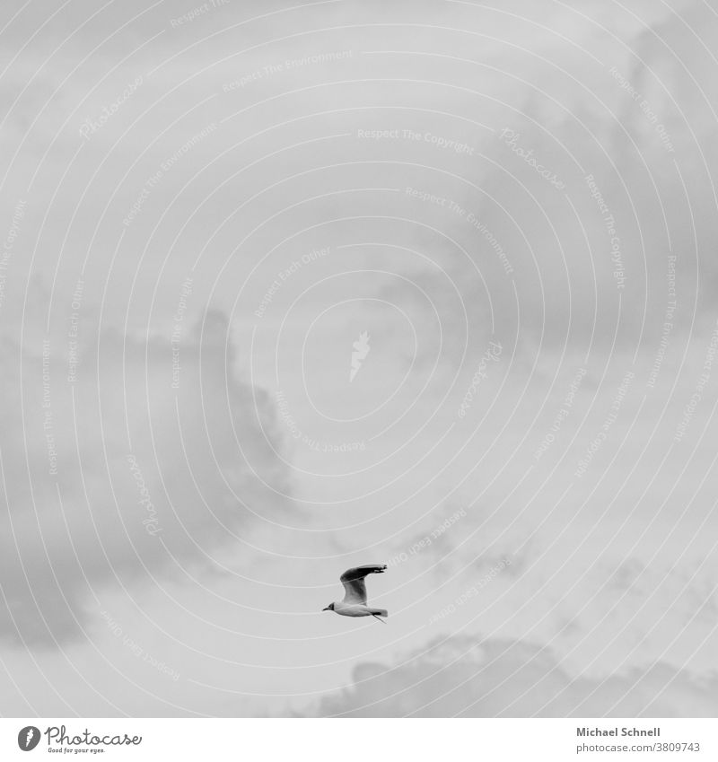 Flying seagull and grey clouds Seagull Bird Sky Freedom Animal Grand piano Clouds on one's own flight Left Black & white photo black-and-white