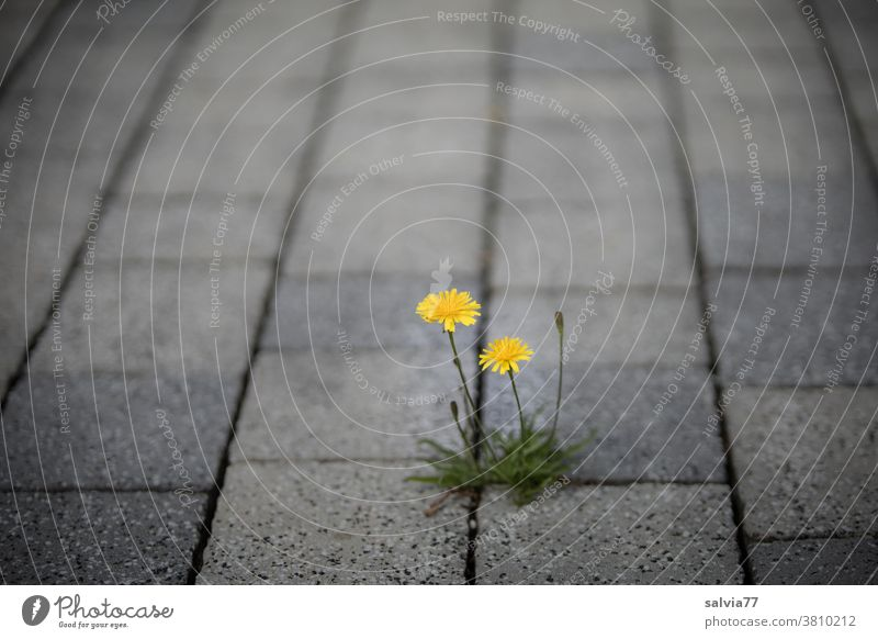 Pioneer plant grows out of crack of paving stones Flower autumn dandelion Blossoming Yellow Paving stone Gray Street wax Growth Plant luminescent Assertiveness