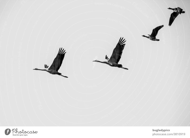 Black and white photo of two cranes and two white-fronted geese in flight. Cranes in the sky White-fronted geese Migratory bird Migratory birds Flock of birds