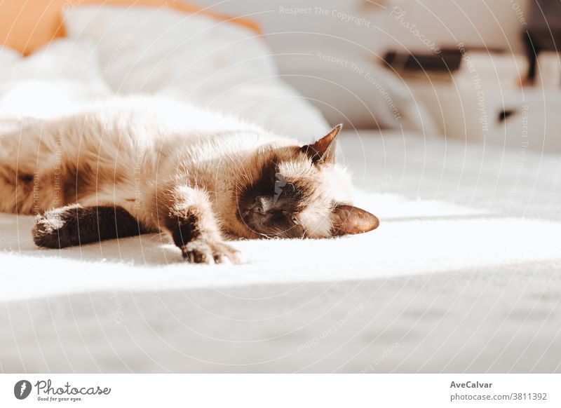 Siamese cat sleeping over a bed during a bright day with copy space loving colors copy-space peace dream indoor up paws room playful horizontal bored lovable