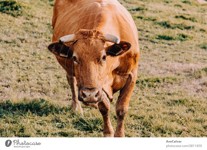 Giant brown cow walking towards the camera on a sunny day in the farm closeup grass farming green hay bull macro field animal caricature chew cud straw strange