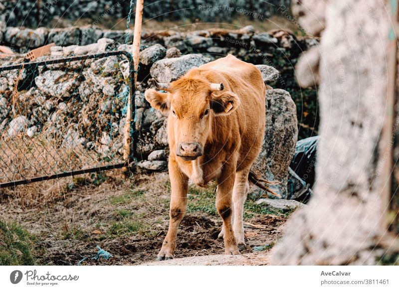Small baby cow looking to camera in a defiant position on a sunny day in the farm closeup grass brown farming green hay bull macro field animal caricature chew