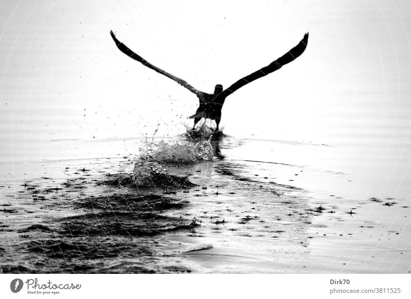 Departure: Cormorant takes off from the water surface Bird launch departure Flying flight waterfowl Grand piano Animal Nature Exterior shot Wild animal Deserted