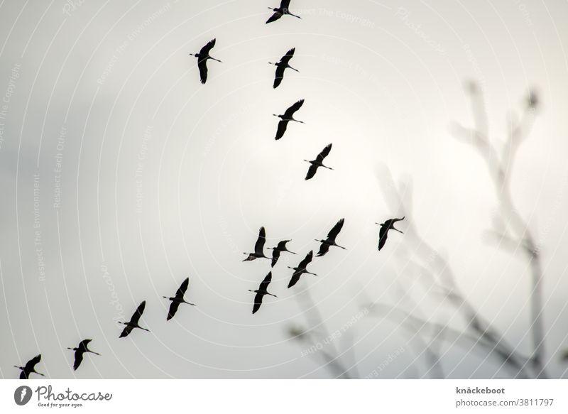 autumn Autumn Nature Cranes Sky Flying Exterior shot Freedom Flock Bird Migratory bird